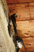 Scott Hovind - Cliff Swallows 1