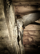 Scott Hovind - Cliff Swallows 2