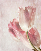 Parchment Framed Prints - Closeup of tulips with vintage feeling Framed Print by Sandra Cunningham
