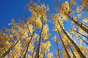 Jerry McElroy - Colorado Aspen