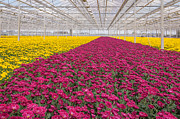 Grow Inside Prints - Colorful chrysanthemums in a Dutch flower nursery Print by Ruud Morijn