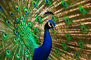 Matt Dobson - Colorful Peacock