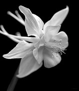 Jennie Marie Schell - Columbine Flower Macro Black and White