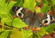 Warren Thompson - Common Buckeye Butterfly