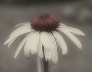 Coneflower In Partial Color Fine Art Print by Smilin Eyes Treasures