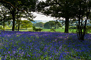 Bluebell Framed Prints - Constable country Framed Print by Gary Eason