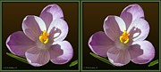 Crossview Framed Prints - Crocus - Gently cross your eyes and focus on the middle image Framed Print by Brian Wallace