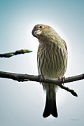 House Finch Photos - Curious House Finch by Steven Llorca