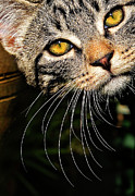 Tabby Posters - Curious Kitten Poster by Meirion Matthias