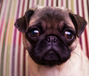 Edward Fielding - Cute Pug Puppy
