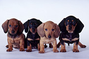 Carolyn McKeone and Photo Researchers - Dachshund Puppies