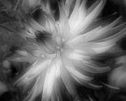 Dahlia Flower In Black And White Fine Art Print by Smilin Eyes Treasures