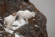 Tim Grams - Dall Sheep on a Ledge