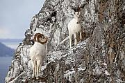 Tim Grams - Dall Sheep on an Icy Cliff