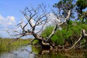 Barbara Bowen - Dead Cedar Tree in Waccasassa Preserve