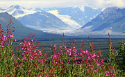 Fire Weed Prints - Denali Highway Print by LLoyd Nielsen