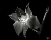 Dendrobium Photos - Dendrobium Orchid in Black and White by Endre Balogh