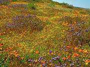 Ca Poppies Prints - Desert Wildflower Carpet in Antelope Valley  Print by Ruth Hager