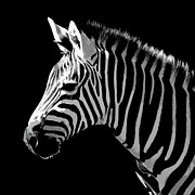 Africa Wall Art Prints - Digital art Zebra Print by Pierre Leclerc