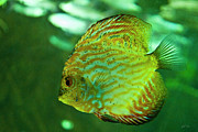 Discus Photo Prints - Discus Fish Print by Agrofilms Photography