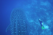 Diving Suit Prints - Diver filmming a whale shark Print by Sami Sarkis