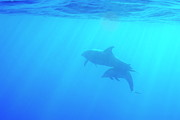 Sami Sarkis - Dolphin mother and calf
