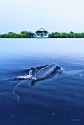 Dolphin Metal Prints - Dolphins by the Mangrove House Metal Print by Steven Llorca