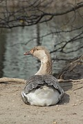 Birds Of Wells Mills Prints Posters - Domestic Goose 204 Poster by Joyce StJames