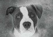 Pitbull Posters - Dont Hate the Breed - Black and White Poster by Larry Marshall