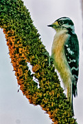 Clark Fork - Id - Downy woodpecker on Mullein by Albert Seger