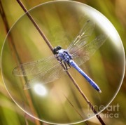 Shimmering Posters - Dragonfly in a Bubble Poster by Carol Groenen