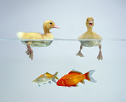 Jane Burton and Photo Researchers - Ducklings and Goldfish