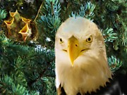 Wild Birds Digital Art Originals - Eagles Nest by Garry Staranchuk