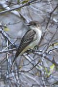 Flycatcher Originals - Eastern Phoebe by Alan Lenk