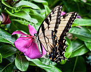 2009 Originals - Eastern Swallowtail No. One by Michael Putnam