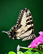 2009 Originals - Eastern Swallowtail No. Three by Michael Putnam