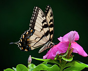 2009 Originals - Eastern Swallowtail No. Two by Michael Putnam