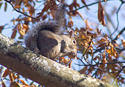 Sale Printing Framed Prints - Eating Squirrel Framed Print by Michael Waters