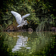 Chris Lord - Egret Hunting for Lunch