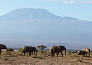 Mt.kilimanjaro Prints - Elephants at Kilimanjaro II Print by Robert Selin