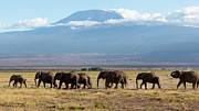 Mt.kilimanjaro Prints - Elephants at Kilimanjaro III Print by Robert Selin