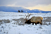 Dennis Fast - Elk in Yellowstone