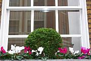 Yvonne Ayoub - England London window box with cyclamen