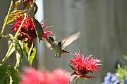 Cathy  Beharriell - Enjoying The Bee Balm