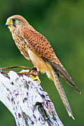 Bill Barber - Eurasian Kestrel