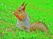 Tufted Ears Prints - European Red Squirrel on grounds of Catherines Palace in Peterhof Russia Print by Ruth Hager