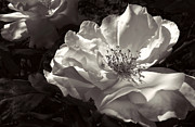 Jennie Marie Schell - Evening Glow Rose Black and White