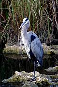 Marty Koch - Everglades Heron