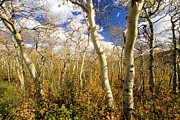 Adam Jewell - Fall Aspens