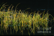 Sandra Bronstein - Fall Grasses - Snake River